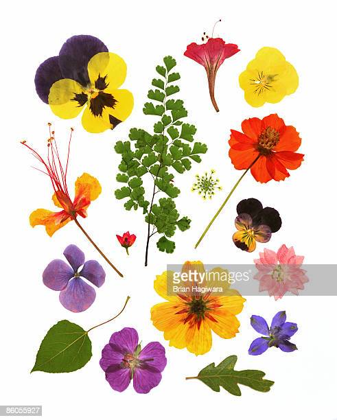 Variety of pressed flowers