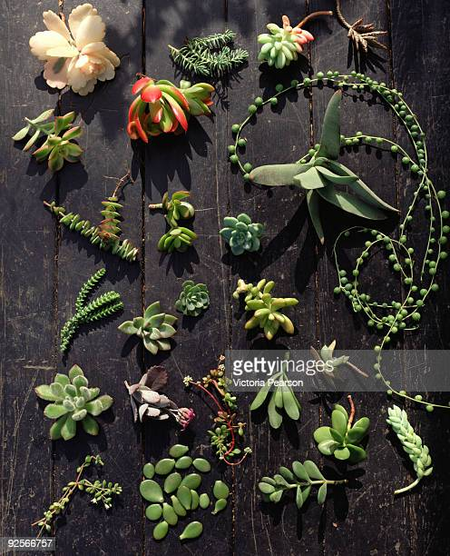 variety of succulents - marginata stock pictures, royalty-free photos & images