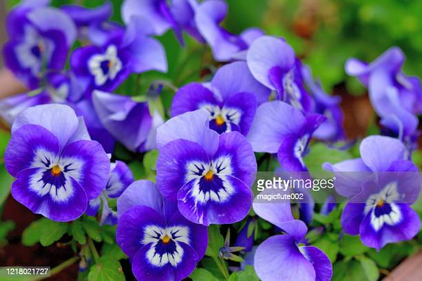 Gallo Images 1218021727 Viola Is Flowering Plant Violet Family