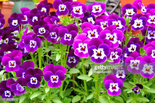 Gallo Images 1218026512 Viola Is Flowering Plant Violet Family