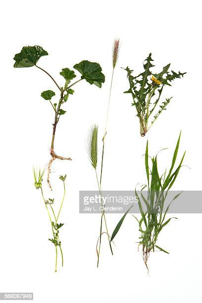 A Variety of weeds are photographed in the Los Angeles Times via Getty Images studio March 8 2010 clockwise from top left mallow with its round...