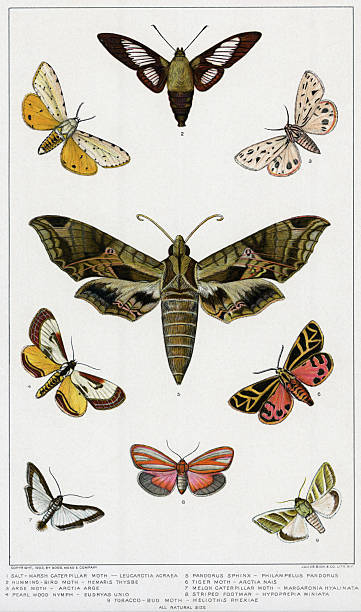 Various American Moths/Lithograph