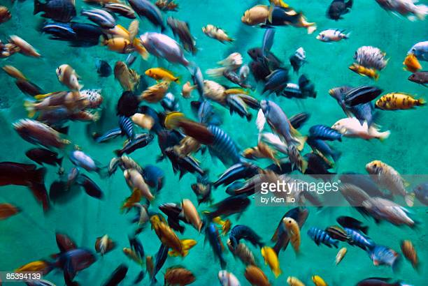 various multi-colored african fish - ken ilio stock pictures, royalty-free photos & images