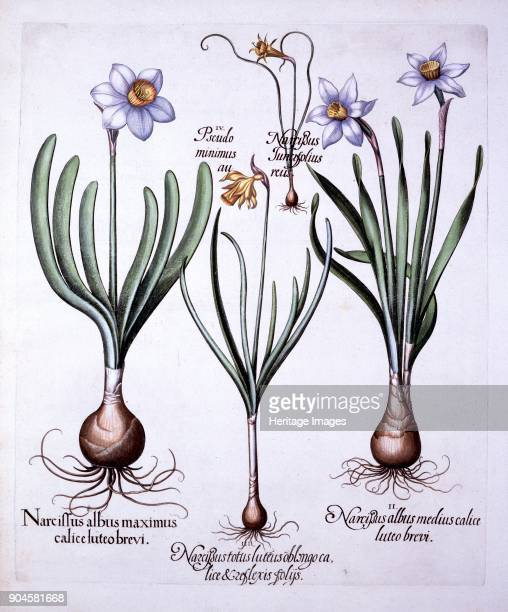Various Narcissi from 'Hortus Eystettensis' by Basil Besler pub 1613 handcoloured I Narcissus albus maximus calice luteo brevi II Narcissus albus...