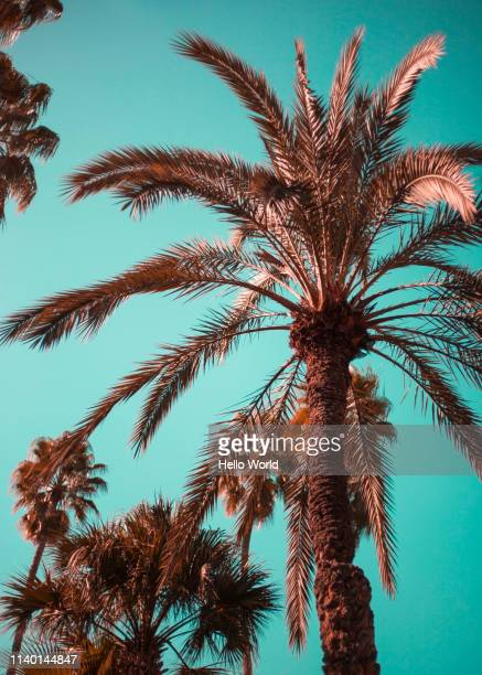various palms with blue sky backdrop - free walpaper stock photos and pictures