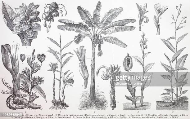 Various plants, Curcuma zedoaria, Elettaria cardamomum, Zingiber officinale, Musa paradisiaca, Canna indica, Maranta arundinacea, / Verschiedene...