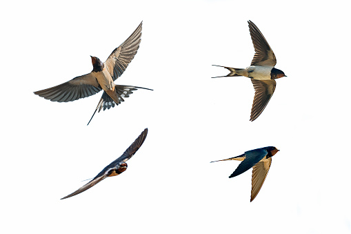 various postures of swallow 810942998