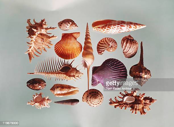 various sea shells on grey background - 1971 stock pictures, royalty-free photos & images