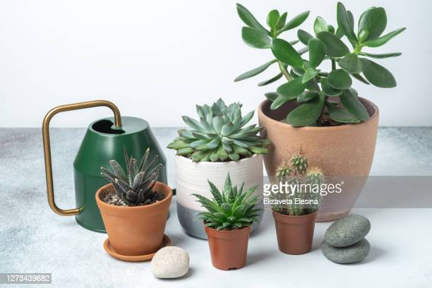 various succulents pots watering can table
