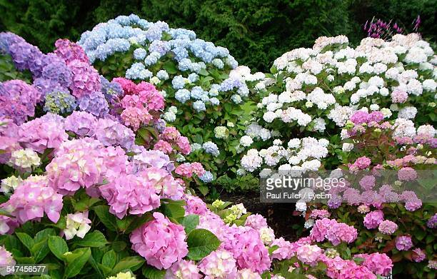 various types of hydrangea blooming in park - あじさい ストックフォトと画像