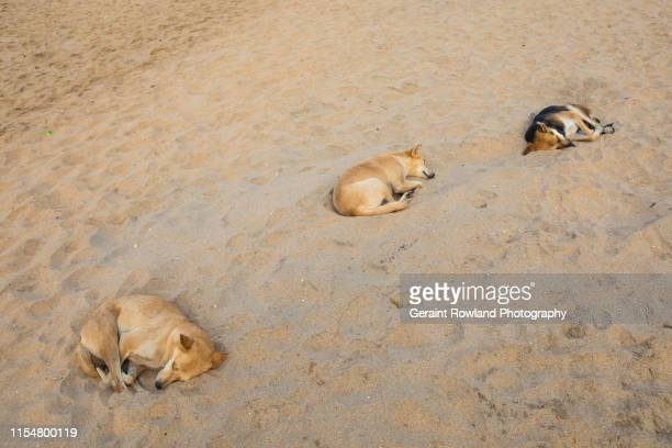 varkala beach, stray dogs - animal welfare stock pictures, royalty-free photos & images