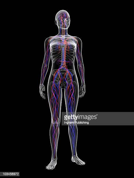 vascular system - blood flow stock pictures, royalty-free photos & images