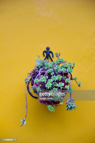 A vase of succulents on a yellow wall