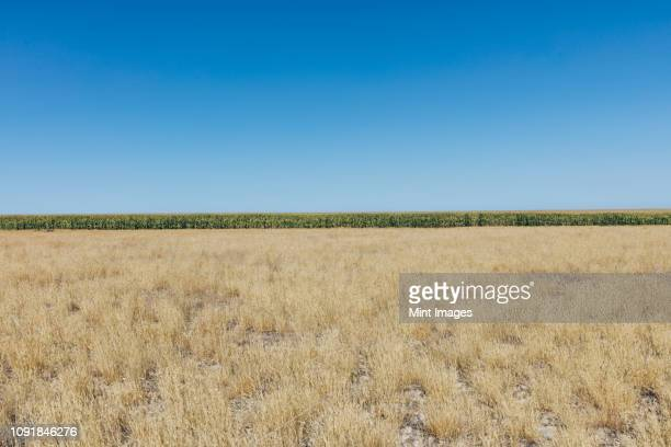 vast field of corn, grasslands in foreground - dry stock pictures, royalty-free photos & images