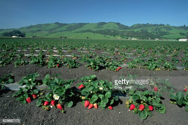 Vast Strawberry Field