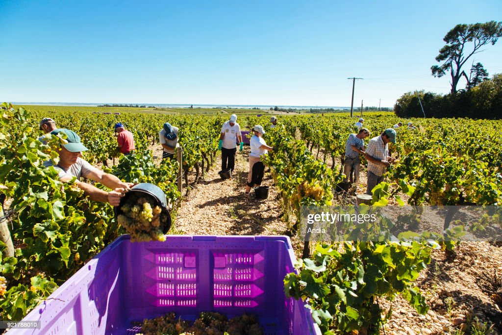 Vauvert (south-eastern France), June 2012: hand picking in the Costieres de Nimes vineyard.