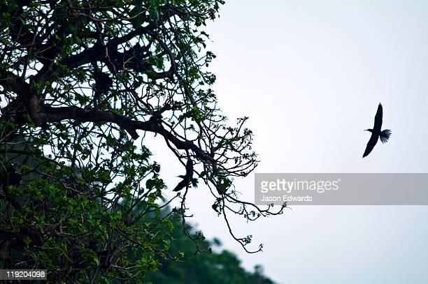 A nesting colony of Black Noddy flying over a limestone pillar.
