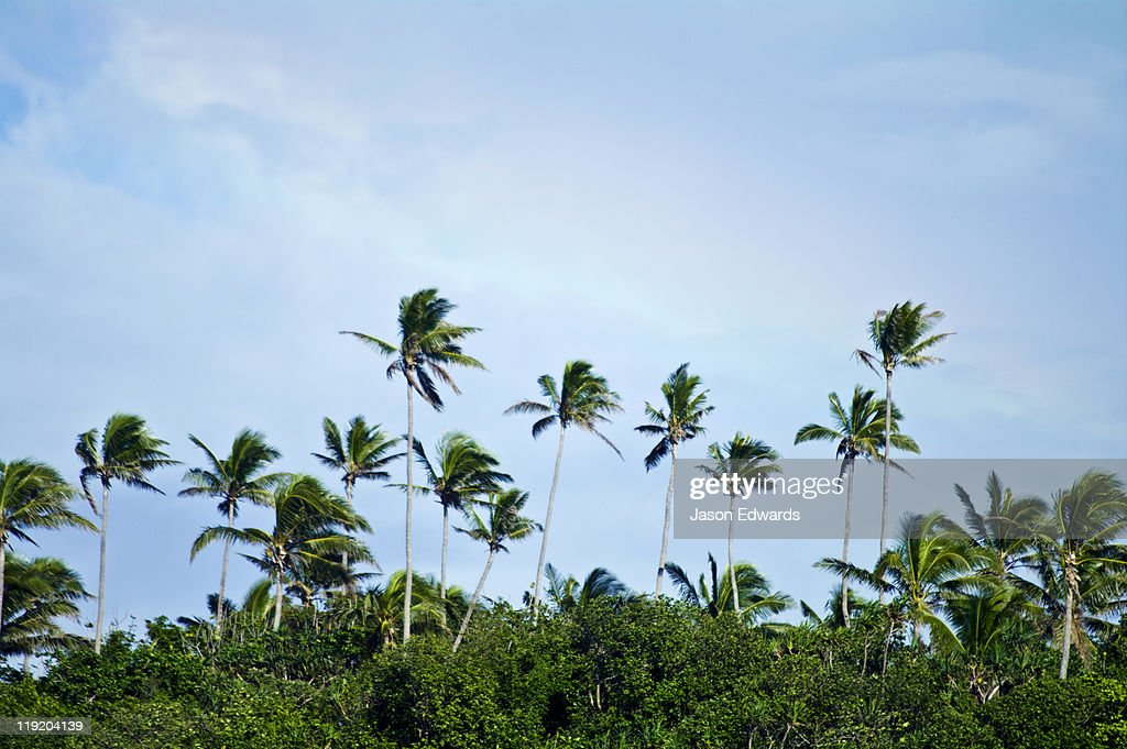 Palm trees rise above a forest canopy on a lush green tropical island.  Stock & Palm Trees Rise Above A Forest Canopy On A Lush Green Tropical ...