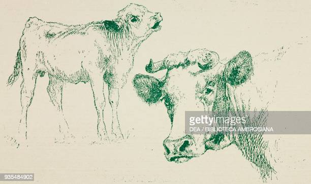 Veal and cow head by Edouard Hamman from Sketch and pen drawings by the most renowned artists series 2 animals 1900