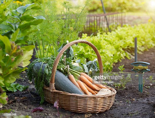 vegetable basket in allotment - harvest basket stock pictures, royalty-free photos & images