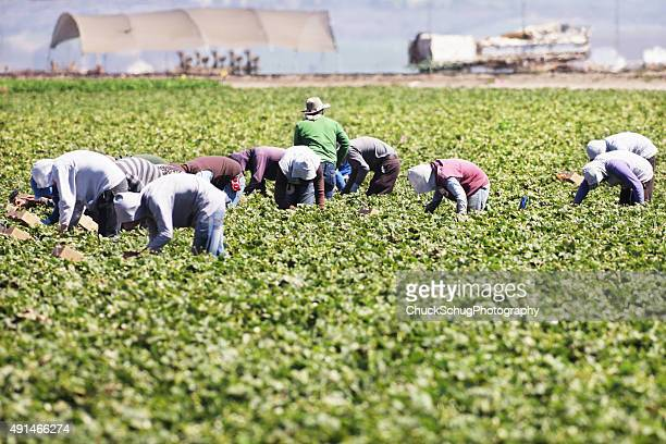 vegetable crop harvest farm workers - migrant worker stock pictures, royalty-free photos & images