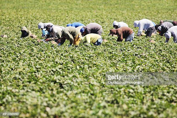 vegetable crop harvest farm workers - migrant worker stock photos and pictures