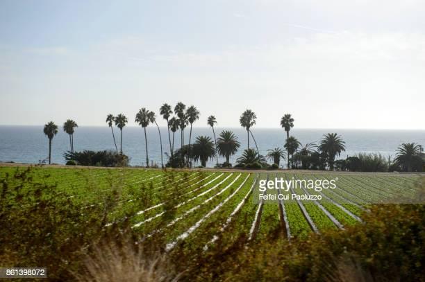 Vegetable field and palm tree at Santa Barbara, California, USA