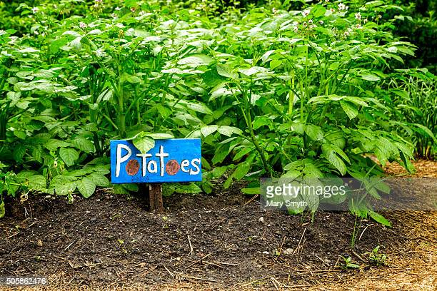 Vegetable Garden (Potatoes)
