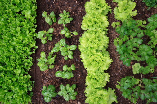 vegetable garden 94071767