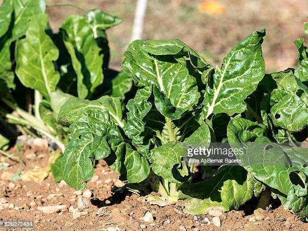 Vegetable garden with green leafy vegetables planted