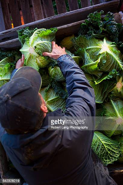 Vegetable grower packing cauliflower for market