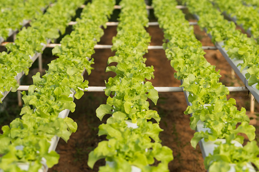 Vegetable hydroponic farm, Agriculture background - gettyimageskorea