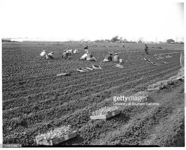 Vegetable industry Stanley Dunn feature 20 March 1953 Planting celeryMrs LJ Boyer YC Reys Reyes Ponce Caption slip reads ' Photographer Monteverde...