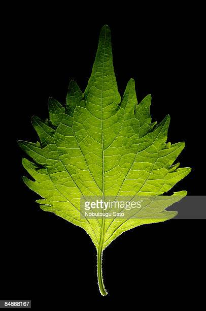 vegetable? - shiso stock pictures, royalty-free photos & images