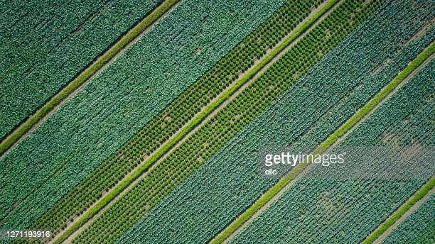 plantação de hortaliças - vista aérea - crucíferas - fotografias e filmes do acervo