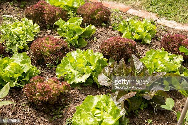 Vegetable plot lettuce plants at Potager Garden, Constantine, Cornwall, England, UK.