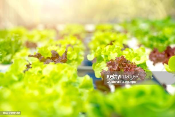 vegetable salad farmer.leaf organic vegetable. - asian farmer ストックフォトと画像
