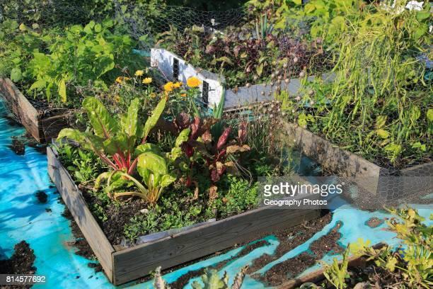 Vegetables and salad crops growing raised beds allotment garden, Shottisham, Suffolk, England, UK.