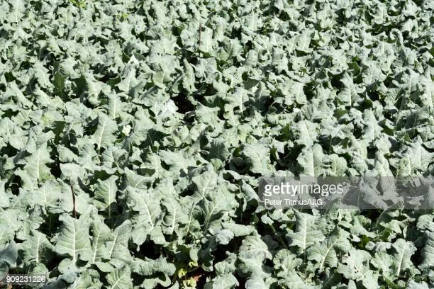 Vegetables growing in a field Crete, Greece.