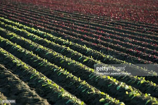 Vegetables seedlings growing in plowed field