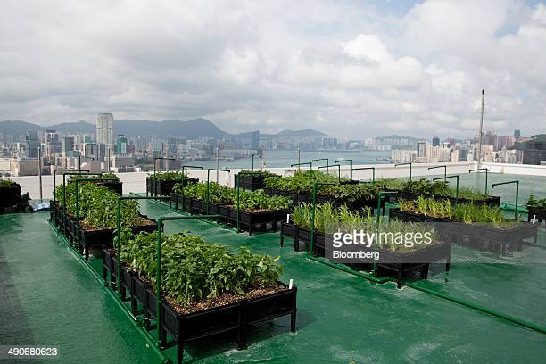 Vegetables sit at a Jones Lang LaSalle Inc. Urban farm on top of the Bank of America Tower in the Central district of Hong Kong, China, on Wednesday,...