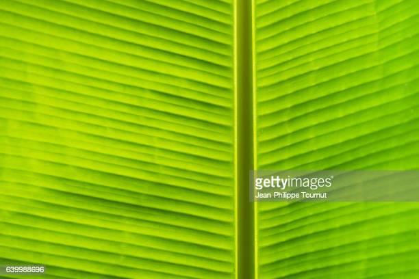 Vegetal symmetry - Back lit banana leaf after the rain near Luang Prabang, in Northern Laos, Southeast Asia