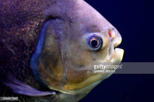 Vegetarian piranha is pictured at the aquarium of the Spanish Basque city of San Sebastian on September 16, 2018.