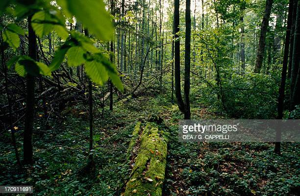 Vegetation and fallen tree trunk, Bialowieza Forest National Park , Poland.