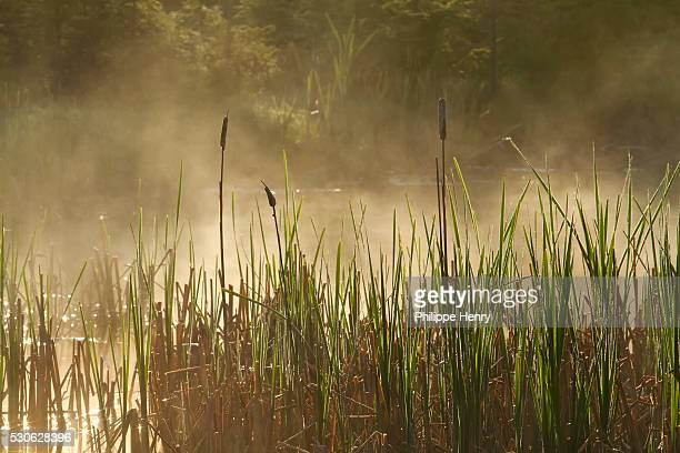 vegetation and mist in a marsh, forillon national park; quebec, canada - forillon national park stock pictures, royalty-free photos & images