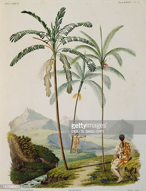 Vegetation from Southern America different types of palms botanic table taken from the Voyage dans l'Amerique Meridionale by Alcide d'Orbigny in...