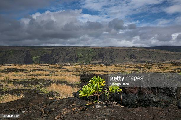 Vegetation grows out of black lava rock near Naulu Sea Arches on December 12 at Volcanoes National Park Hawaii Hawaii the largest of all the Hawaiian...