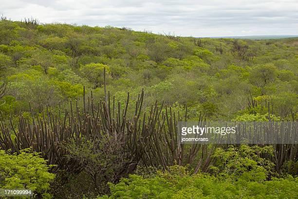 Vegetation in Caatinga, Brazil