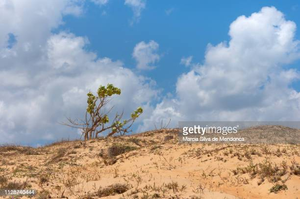 vegetation of the cerrado contrasting with clouds and blue sky, in jericoacoara. - arbusto stock pictures, royalty-free photos & images
