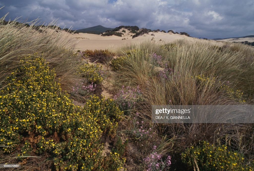 Spring Comes To Dunes >> Vegetation On Piscinas Sand Dunes In Spring Surroundings Of Arbus